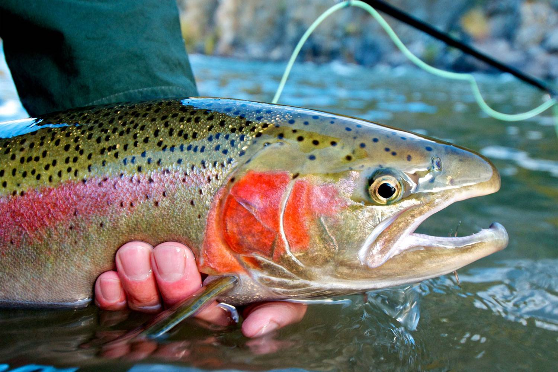 Yellow rainbow trout