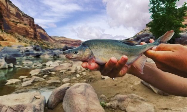Endangered Fish on the Brink of Extinction