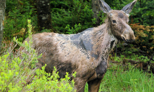 "Rise of the ""Ghost Moose"" Winter Ticks Take a Toll"