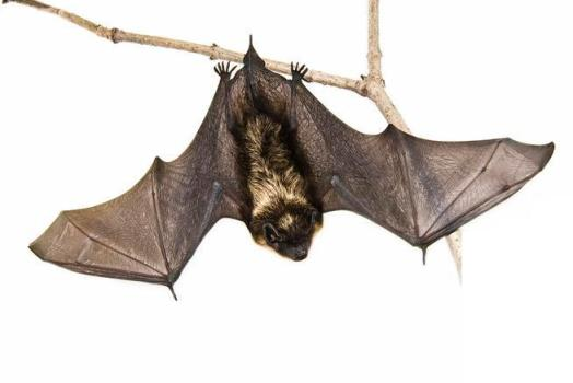 Bats pose potential exposure to Rabies risk