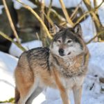 CPW officers confirm latest wolf pack sighting in NW Colorado
