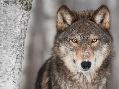 CPW locates, collars gray wolf spotted in north-central Colorado