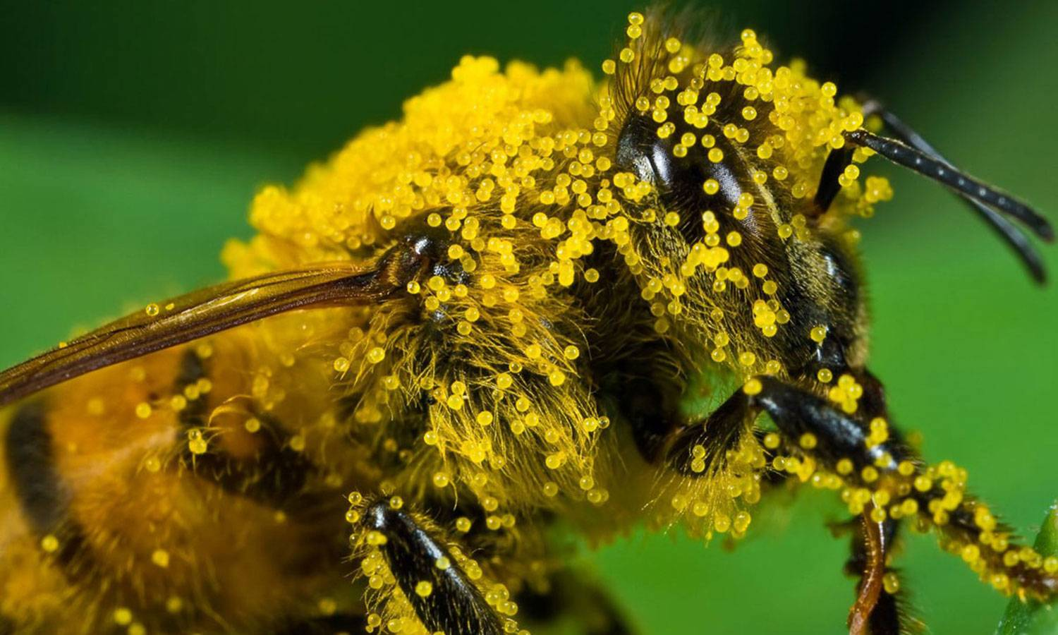honeybee covered in pollen